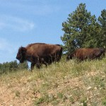 USA-Custer-State-Park-Bisons-Heideker-Reisen-RH