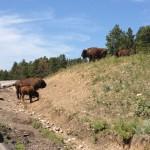 USA-Custer-State-Park-Bisons-Heideker-Reisen-RH-2