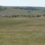 USA-Custer-State-Park-Bisons-Heideker-Reisen-RH-3