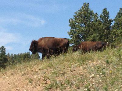 Custer State Park – Auf den Spuren des amerikanischen Bisons